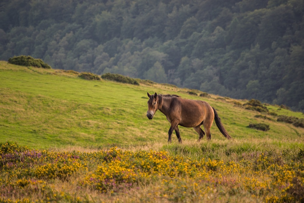 Exmoor pony in a field.