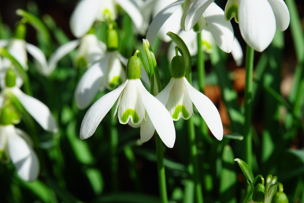 Close up of a snowdrop flower.
