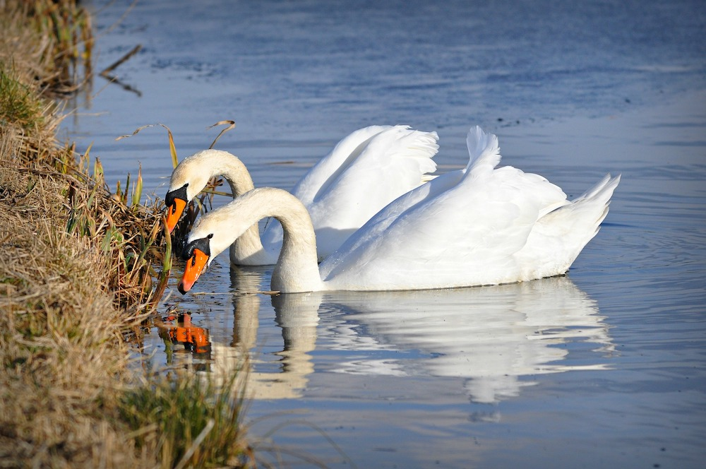 Swans grazing at the edge of water.